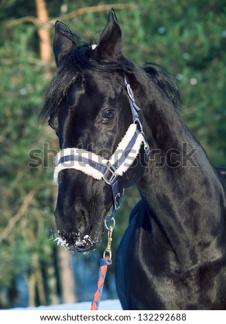 portrait of beautiful black horse. winter. outdoor