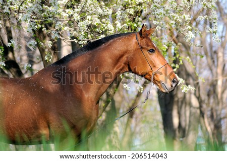 Portrait of beautiful brown horse, which stands under a blossoming tree on the neutral background