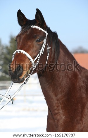 Portrait of beautiful brown warmblood with white bridle in winter
