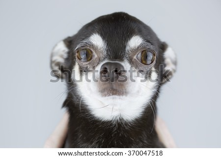 portrait of beautiful chihuahua dog isolated on grey background - stock photo