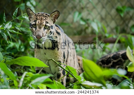 Portrait of Beautiful Clouded Leopard (Neofelis Nebulosa) - stock photo