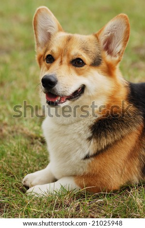 Portrait of beautiful dog . Cardigan Welsh Corgi .