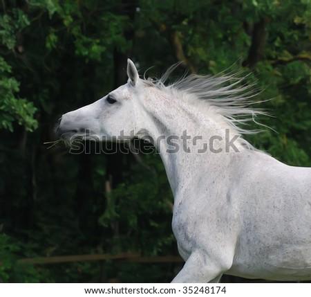 portrait of beautiful gentle white arabian horse in motion - stock photo