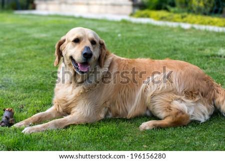 portrait of beautiful golden retriever  - stock photo