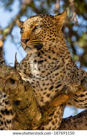 Portrait of beautiful Leopard Bahati in the tree in Masai Mara, Kenya - stock photo