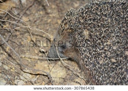 portrait of beautiful little Young hedgehog - stock photo