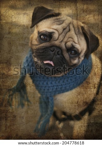 Portrait of Beautiful male Pug puppy dog with blue scarf siting in front of the grass background, Dog autumn fashion, City landscape with graffiti