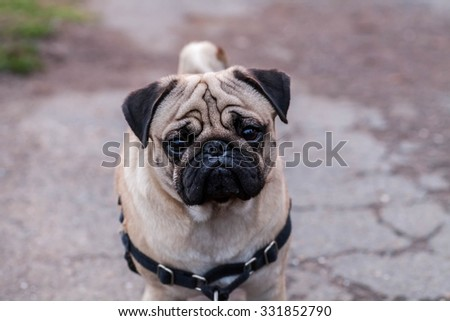 Portrait of Beautiful male Pug puppy sad dog sitting in front of the dark nature landscape background - stock photo