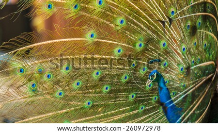 Portrait of beautiful peacock - stock photo