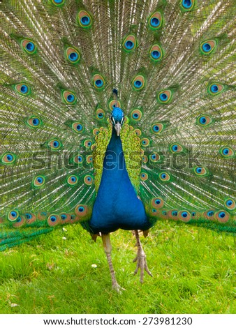 Portrait of beautiful peacock with colorful feathers fanned out - stock photo