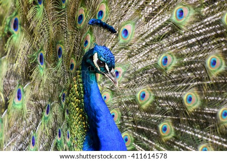 Portrait of beautiful peacock with feathers out. Blue peacock spread tail-feathers. - stock photo