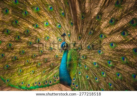 Portrait of beautiful peacock with feathers out,soft focus in cage - stock photo