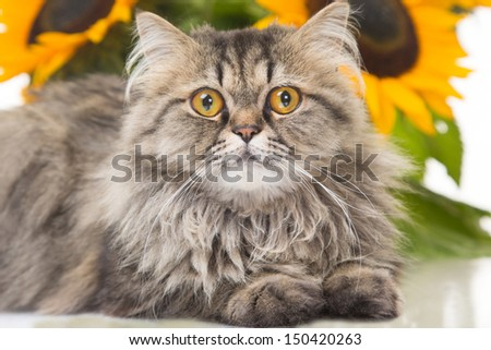 portrait of beautiful Persian cat lying with sunflowers on white background