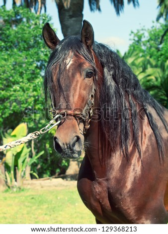 portrait of beautiful purebred Andalusian bay stallion, sunny day. Spain