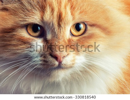 Portrait of beautiful red-haired cat with  toning and selective focus