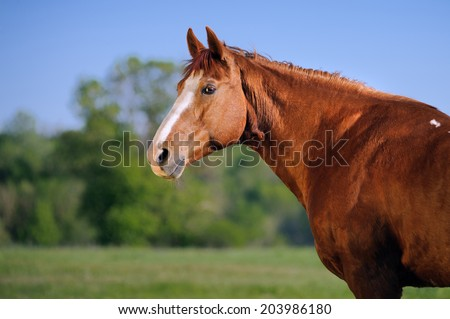 Portrait of beautiful red horse on a green field background