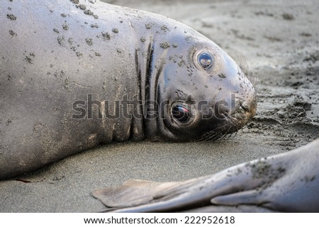 Portrait of beautiful seal laying on the sand - stock photo