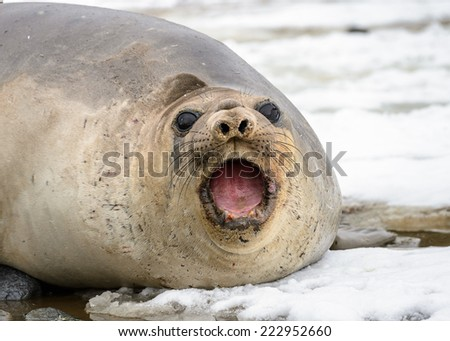 Portrait of beautiful seal screaming laying on the snow - stock photo