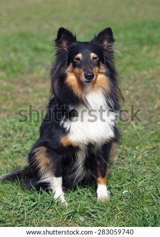 Portrait  of  beautiful sheltie dog on a natural background  - stock photo