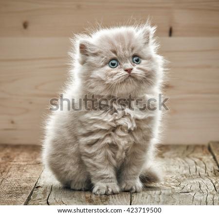 portrait of beautiful small kitten on wooden floor - stock photo