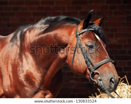 portrait of beautiful sportive horse at stable background