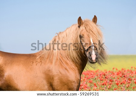 Portrait of beautiful stallion in the poppy field