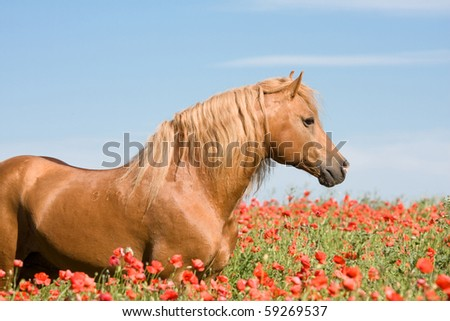 Portrait of beautiful stallion in the poppy field - stock photo