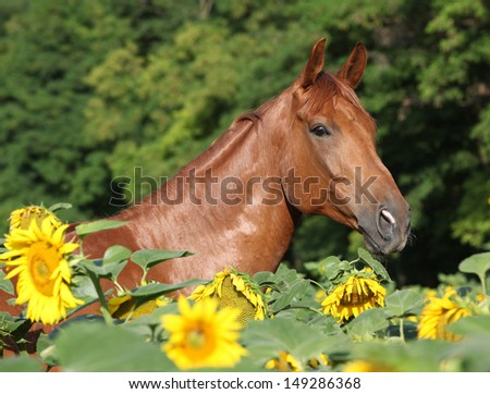 Portrait of beautiful warmblood horse standing in sunflowers