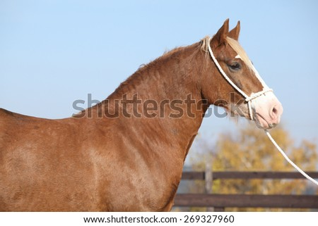 Portrait of beautiful welsh cob mare with halter - stock photo