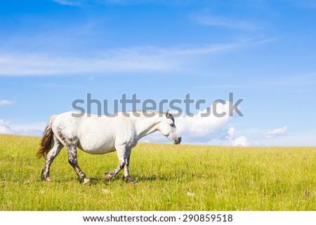 Portrait of beautiful white horse walking on the summer landscape - stock photo