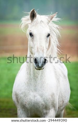 Portrait of beautiful white running horse  - stock photo
