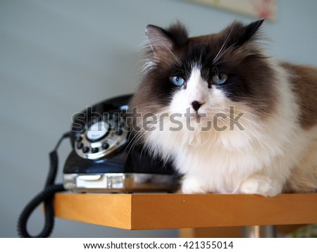 Portrait of Beautiful Wise Long Haired Bi-Color Brown White Blue Eyed Ragdoll Cat Laying with Vintage Black Rotary Phone on Wooden Side Table - stock photo