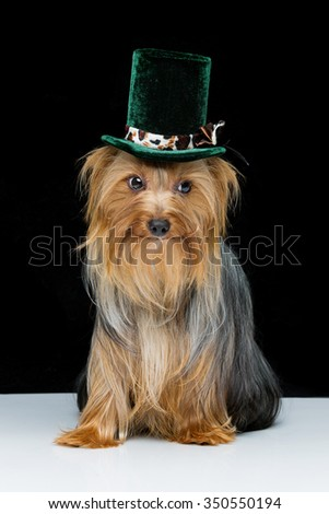 Portrait of beautiful yorkshire terrier dog in fancy grey hat. Over black white background. Copy space. - stock photo