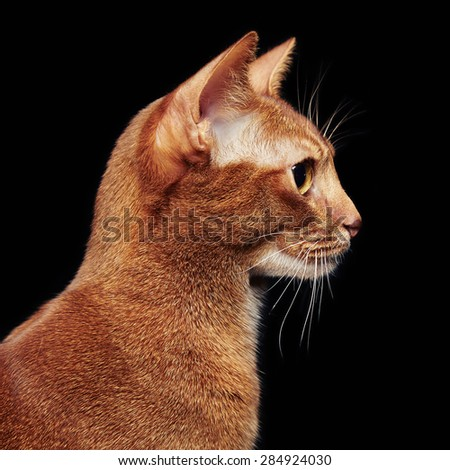 Portrait of beautiful young abyssinian cat. Close up of red cat.  Isolated on black background - stock photo