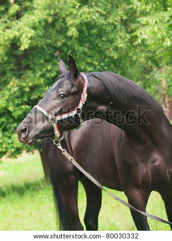 portrait of beautiful young black stallion