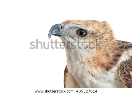 Portrait of beauty hawk,Changeable Hawk Eagle (Nisaetus limnaeetus) - stock photo