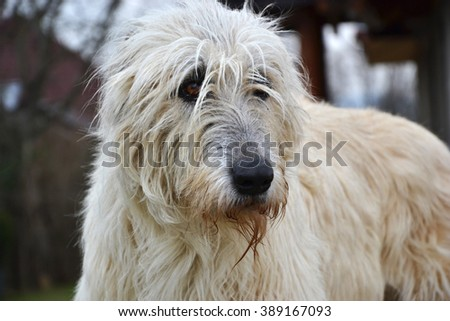 Portrait of beauty Irish wolfhound dog posing in the garden