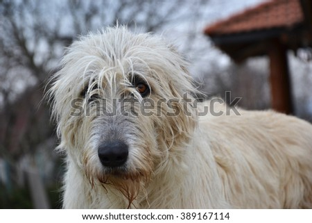Portrait of beauty Irish wolfhound dog posing in the garden - stock photo