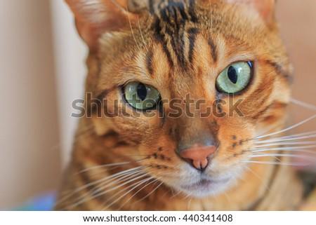 Portrait of Bengal breed cat - stock photo