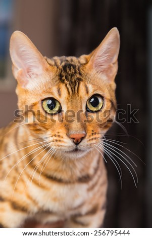 Portrait of bengal cat close-up. Bengak cat on brown background. Pet, home cat. - stock photo