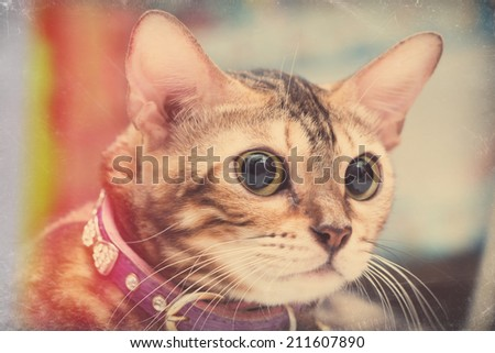 Portrait of  Bengal cat, Vintage style, eyes focus and shallow DOF - stock photo