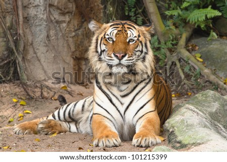 Portrait of Bengal tiger