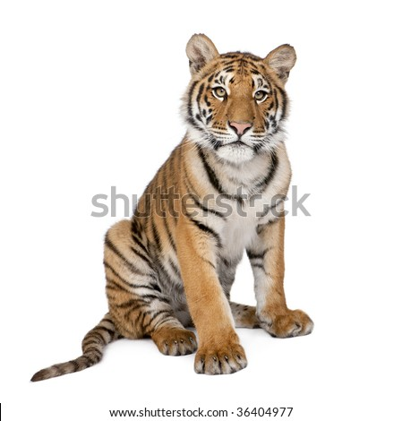 Portrait of Bengal Tiger, 1 year old, sitting in front of white background, studio shot, Panthera tigris tigris