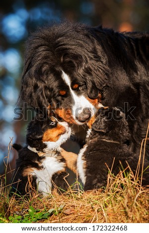 Portrait of bernese mountain dog with puppies - stock photo