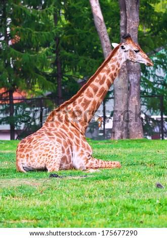 Portrait of big African giraffe in zoo - stock photo