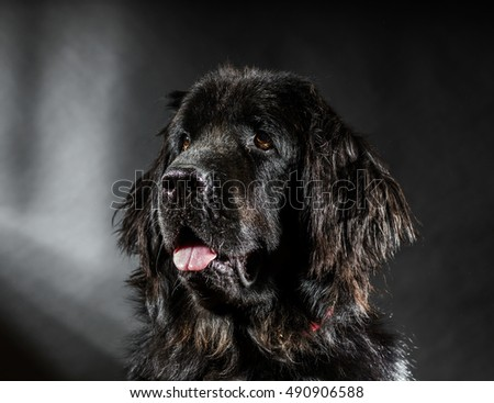 Portrait of big black water-dog, studio shooting, isolated on dark background