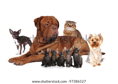 Portrait of big bordoss dog lying, chihuahua, yorkshire terrier, Sphynx and scottish fold cats isolated on white.