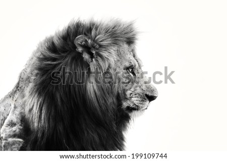 Portrait of big Lion in Masai Mara, Kenya - stock photo