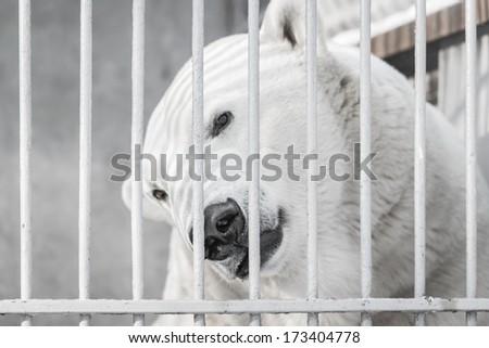 Portrait of Big Polar Bear in Zoo  - stock photo
