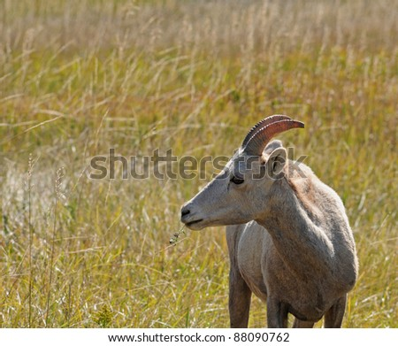 Portrait of bighorn sheep in grasslands of Badlands National Park, South Dakota - stock photo